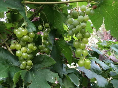 Yay! The green grapes are ripe! Now it's time to harvest and preserve some leaves for dolmas!